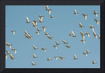 Flock of Cattle Egrets