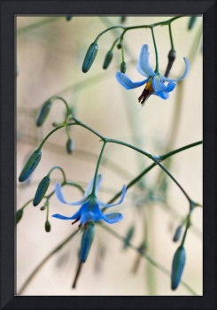 Dianella Flowers in the Wild, 2
