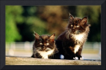 Furry Tuxedo Kittens Ready For Adventure