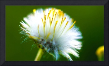 Dandelion Puff-Yellow