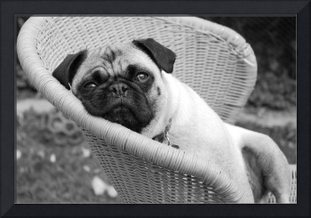 Pug in a Chair