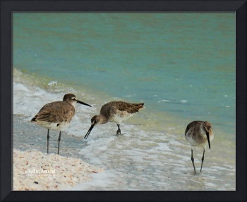 Trio Red Knots On Beach by Robin Amaral