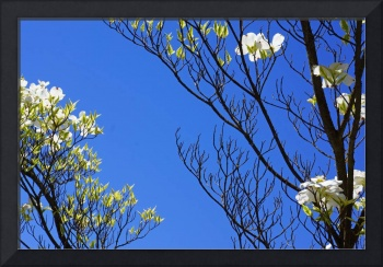 Blue Sky Art Prints Dogwood Tree Branches Flowers