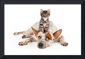 Cattle Dog With Kitten on Head