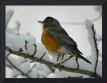 American Robin in Snow Covered Tree