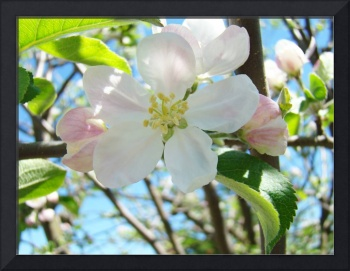 Spring Apple Tree Blossoms Flower Art Prints