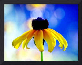 Black Eyed Susan on Blue