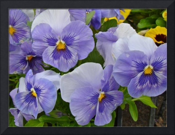Pansy Parade - Purple Beauties