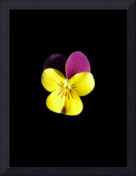 Yellow and Pink Pansy On Black