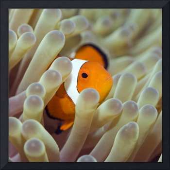 Tropical fish Clownfish