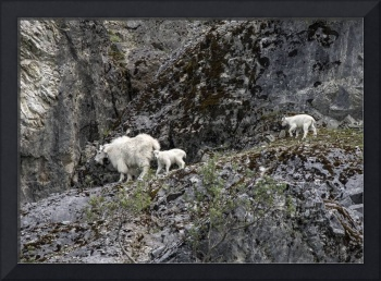Mountain Goat Mama and Two Kids