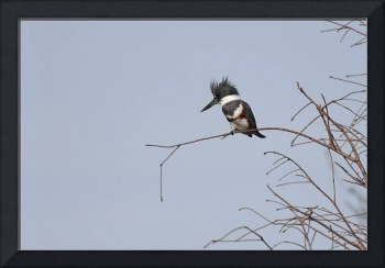 Belted Kingfisher Photograph