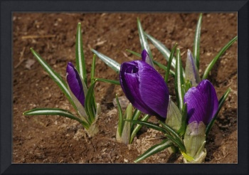 Closed crocus blossoms (Crocus vernus)