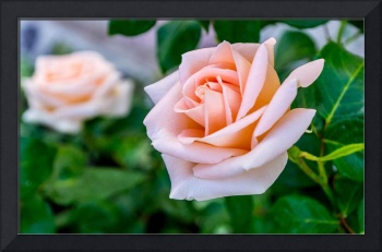 Blossoming Pink Rose