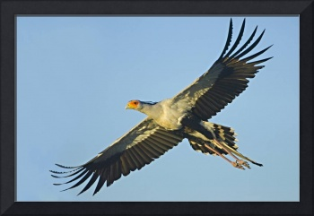 Low angle view of a Secretary bird flying