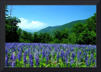 A Field of Lupine Crawford Notch New Hampshire