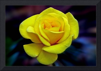 Classic Yellow Hybred Tea Rose