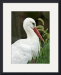 White Stork by Rich Kaminsky