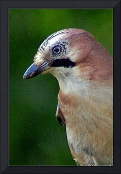 Portrait of a Jay, [Garrulus glandarius]