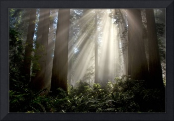 Misty Redwood light