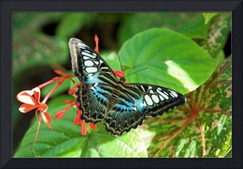 Malaysian Blue Clipper Butterfly--Black and Blue