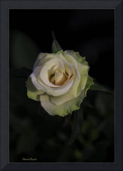 Artistic Beauty Of A Rose