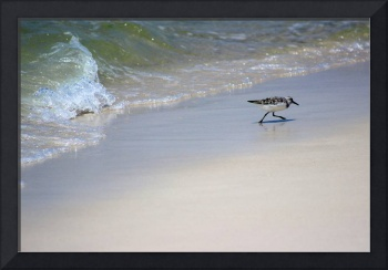 Sanderling and Wave Playing Tag