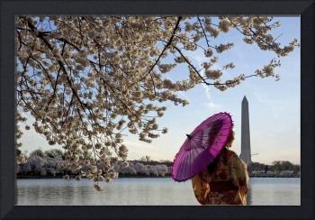 Purple Umbrella Woman Walks By The Cherry Blossoms