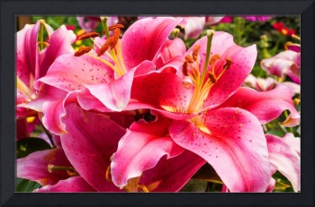 Pink Blooming Lily Flowers