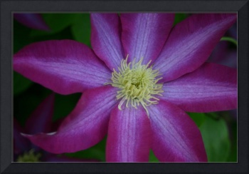 Single Purple Clematis Blossom