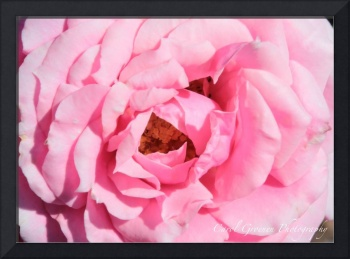 Pink Rose Closeup 168