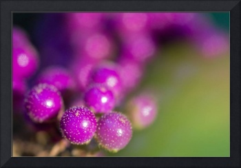 Beauty Berries