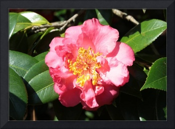 Perfect Pink Camellia
