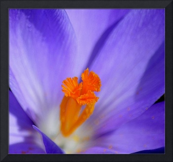 Soft Blue Crocus