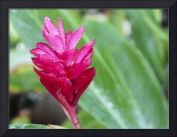 Beautiful Red Guzmania Bromeliad