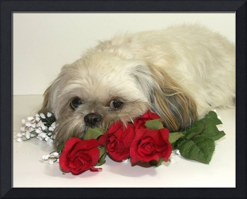 Are we done yet?  Shih tzu Dog Photograph