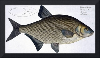 Bream (Cyprinus Brama)