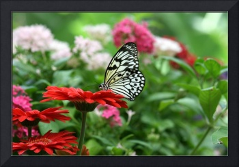 Black and White Butterfly on Red Daisy