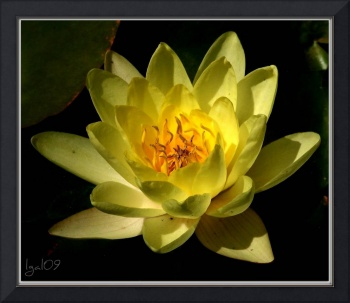 Water Lilly Collection ~ 3 N. 'Carla's Sonshine'