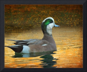 wigeon on city pond3
