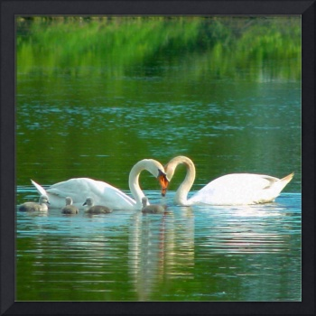 Swans and Cygnets 2