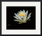 Yet Another Water Lily by Jim Bavosi