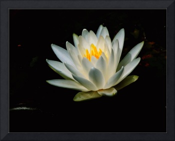 Yet Another Water Lily