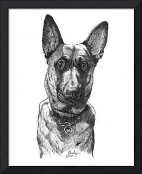 Young Belgian Malinois