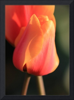 Sunset Orange Tulip