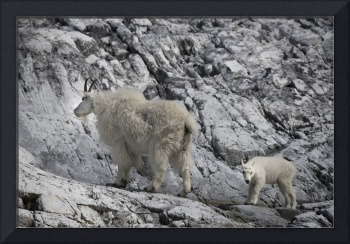 Mama Mountain Goat and Kid, Glacier Bay