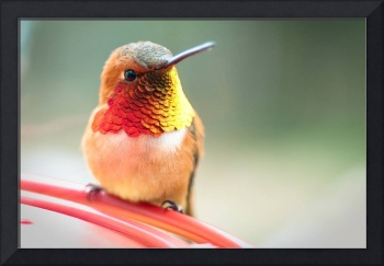 Rufous Hummingbird - Washington State