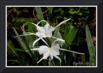 Pair of Spider Lilies