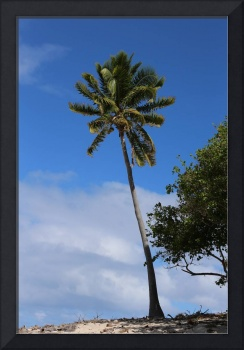 Fiji Palm Tree