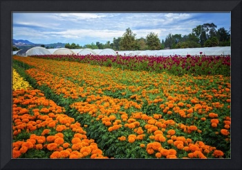California's Fall Flower Harvest